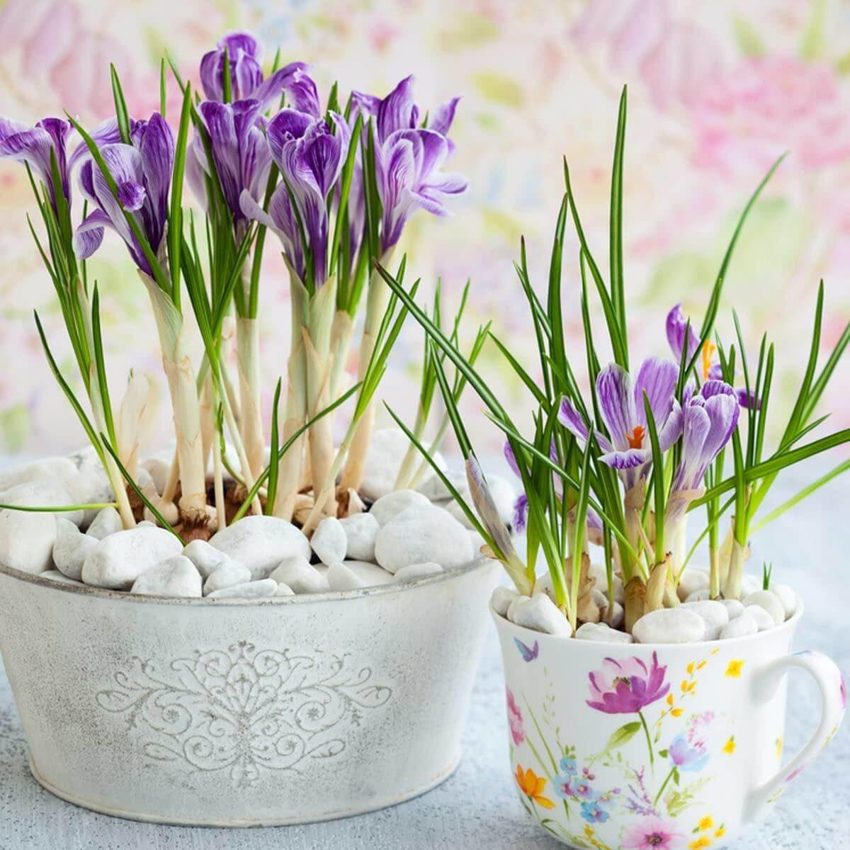 crocus purple flower