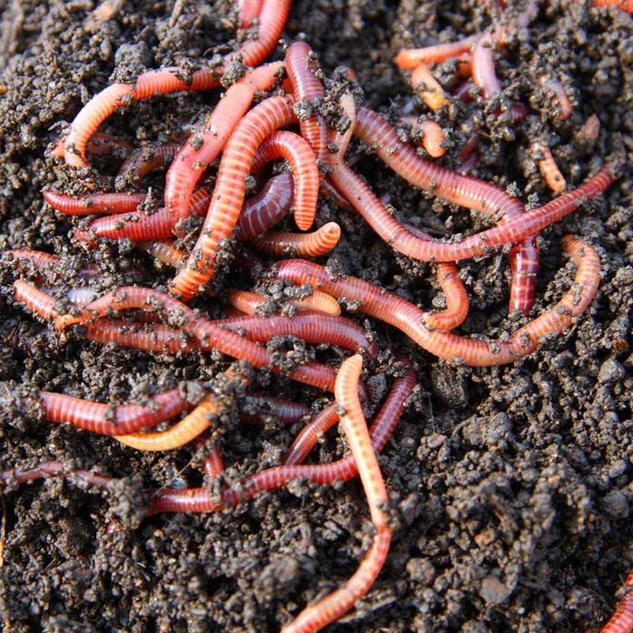 worms in compost