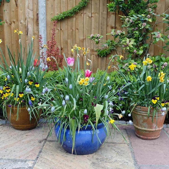 tulips, daffodils and grape hyacinth are container plants flowers