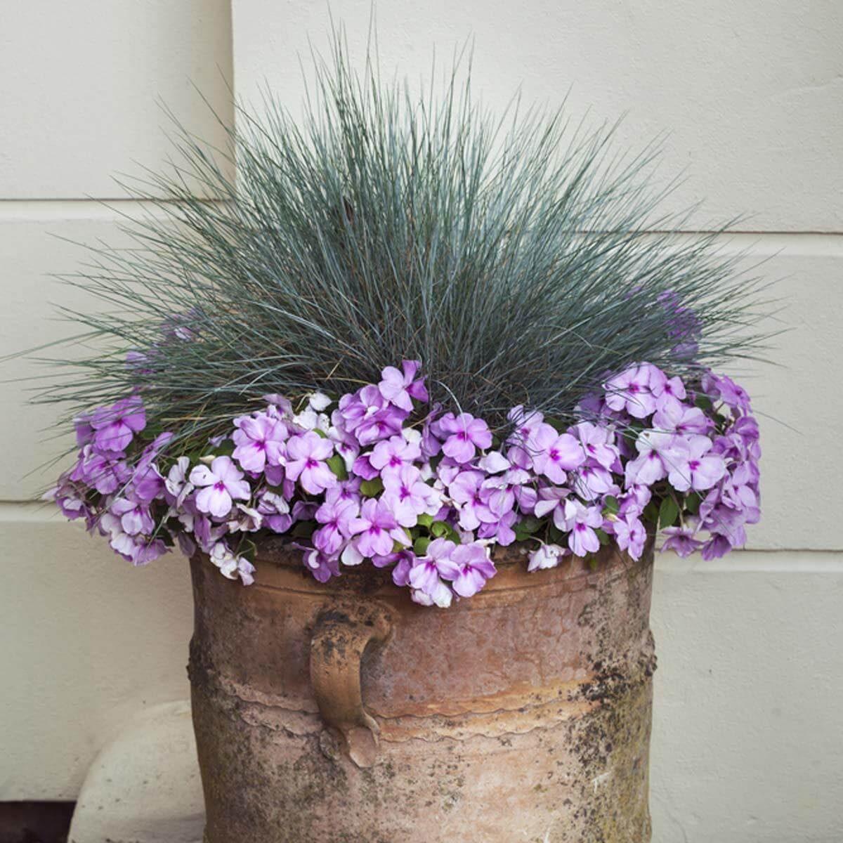 lavender impatiens flowers
