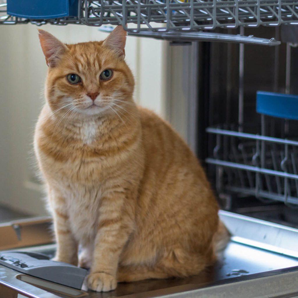 cat in dishwasher