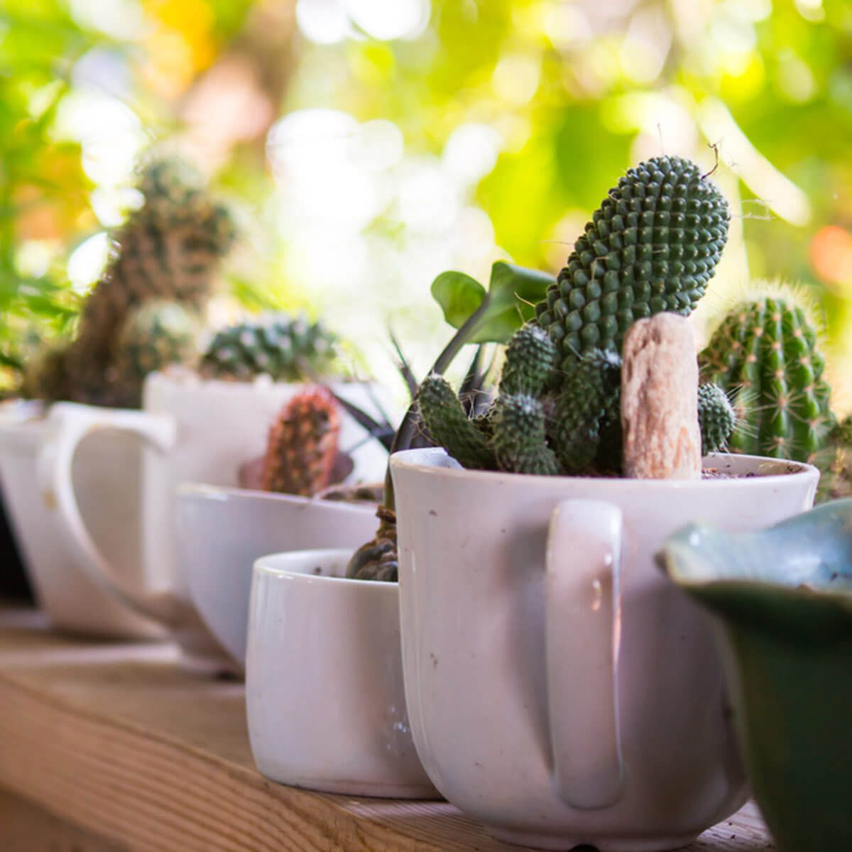 cactus in coffee cups
