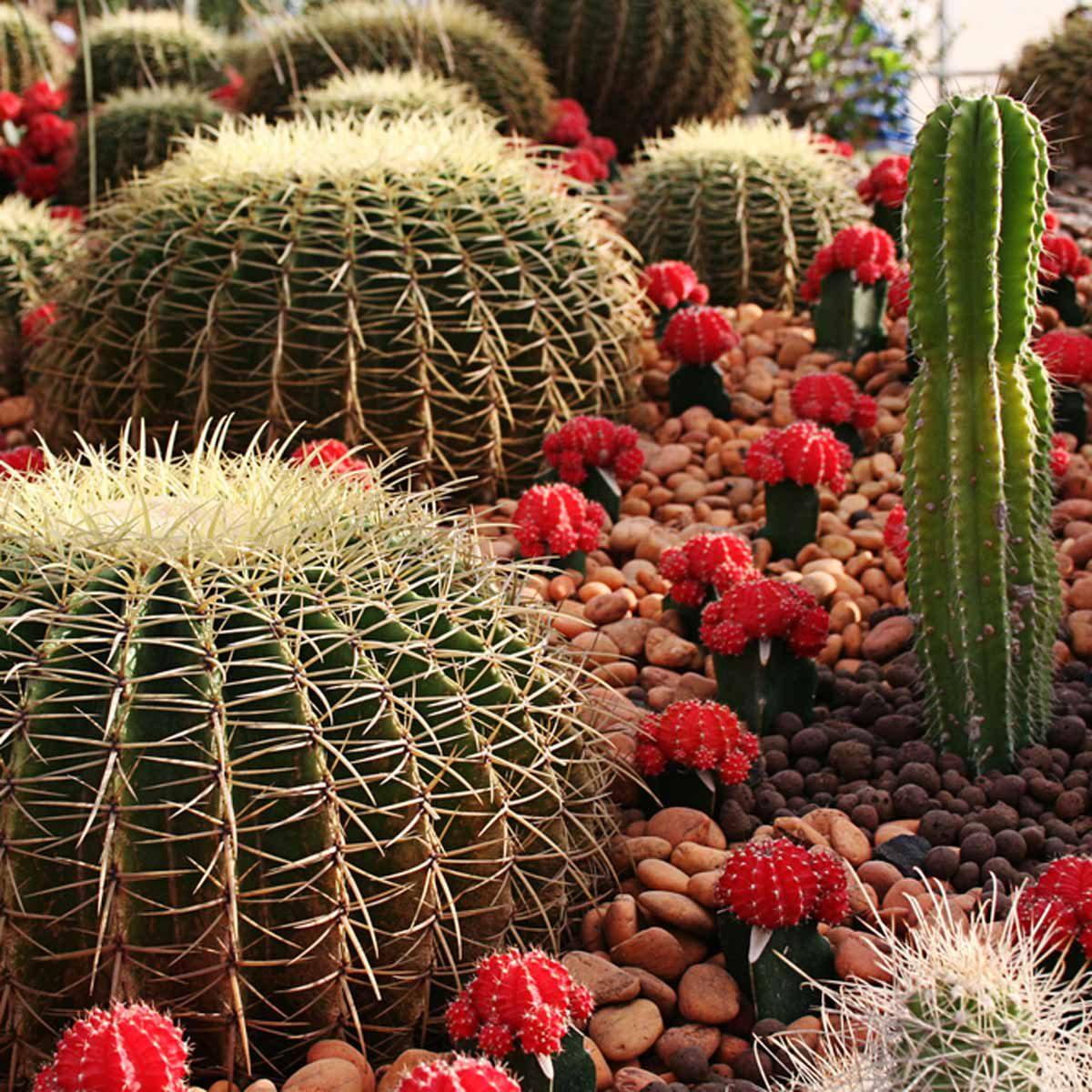 flowering cactus garden