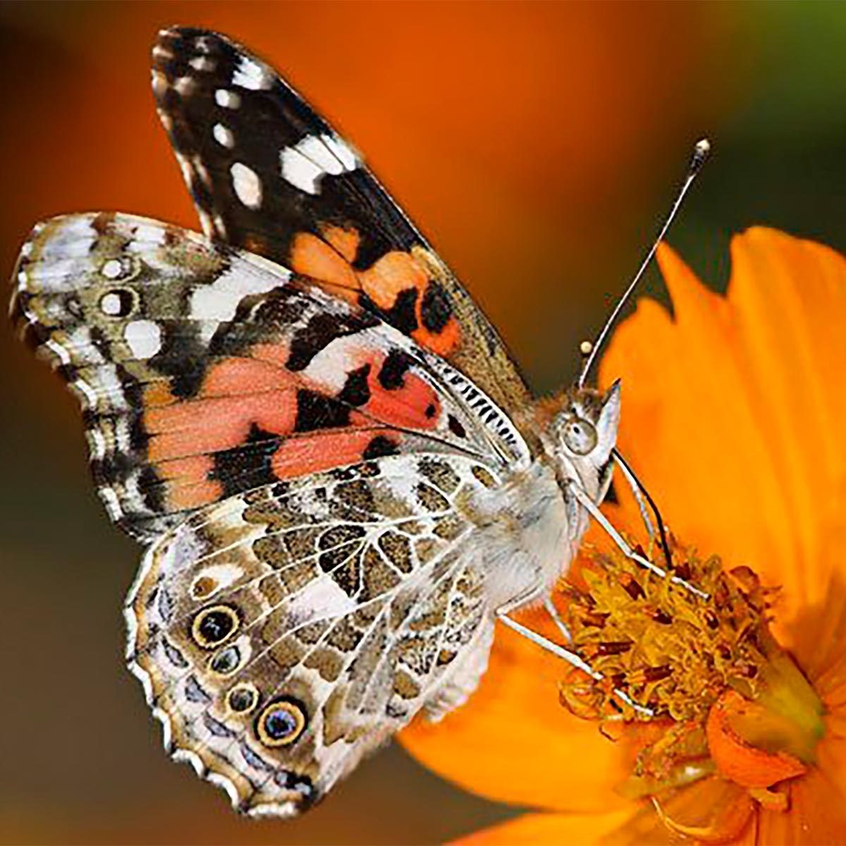 butterfly on cosmos