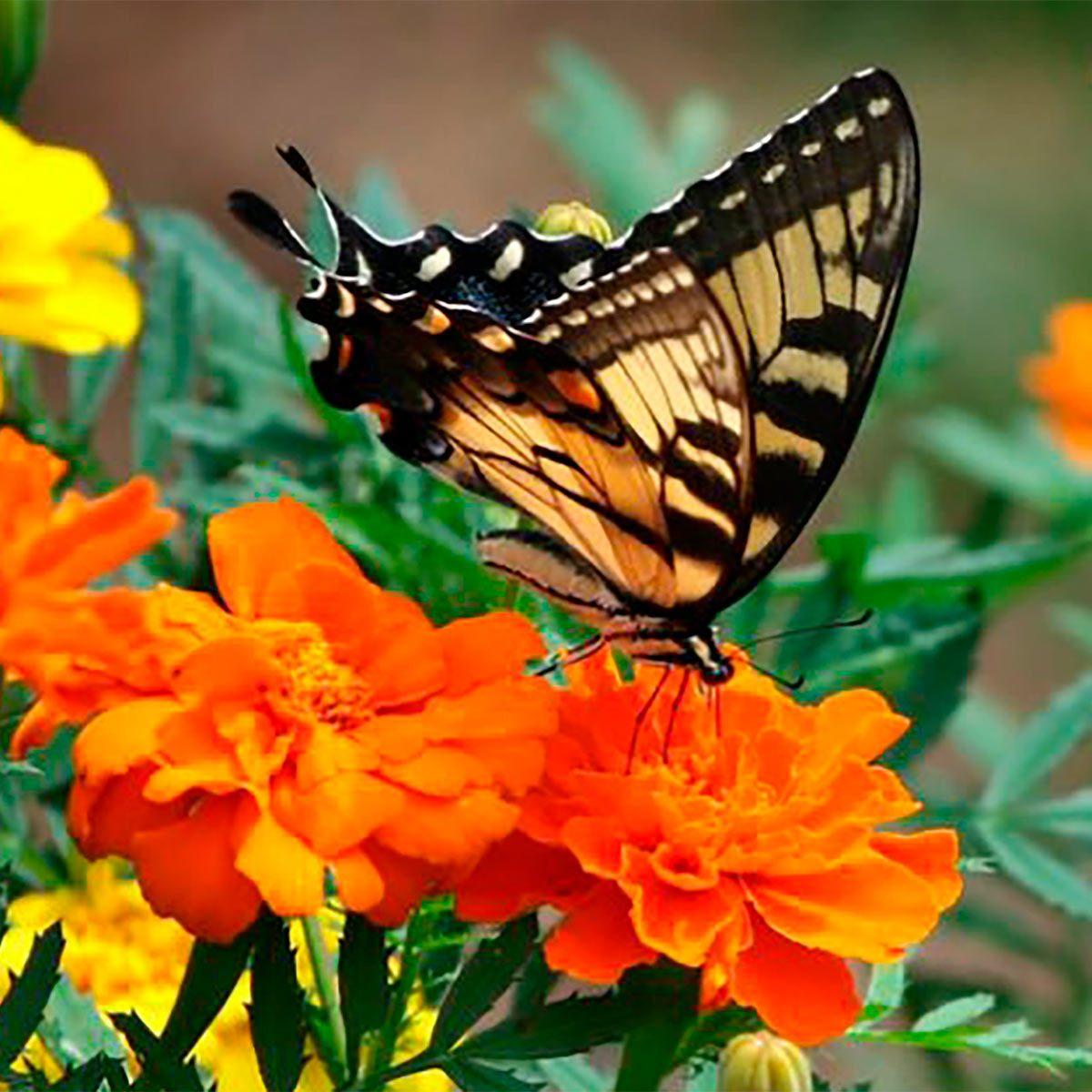 9 Butterfly Flowers To Grow From Seed The Family Handyman