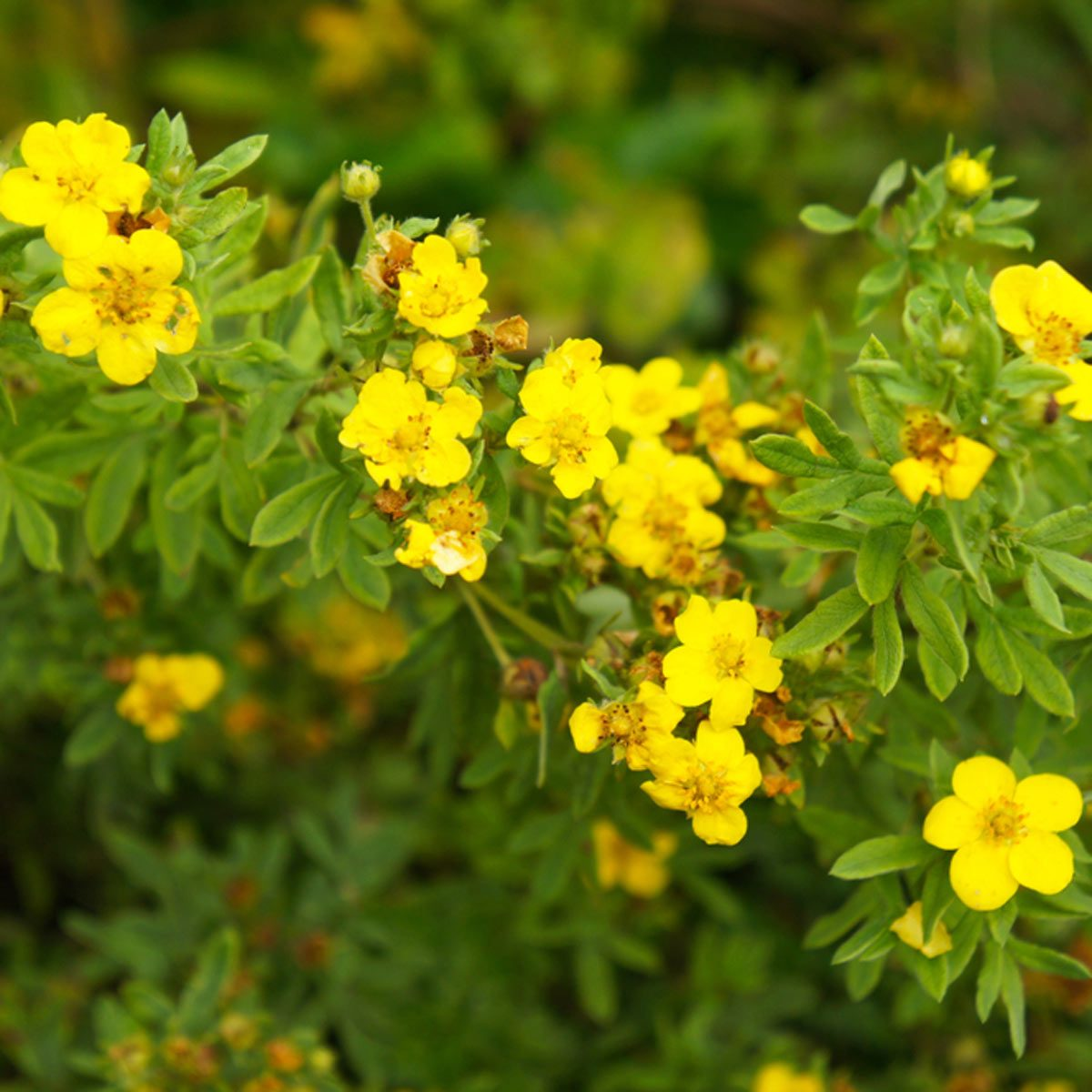 Potentilla flowering shrub