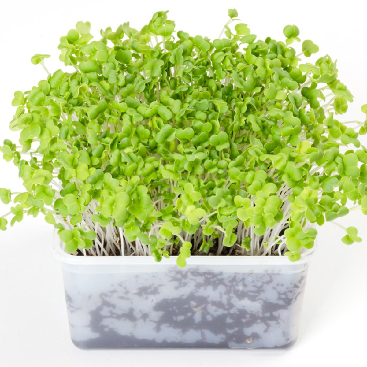 microgreens sprouts growing veggies