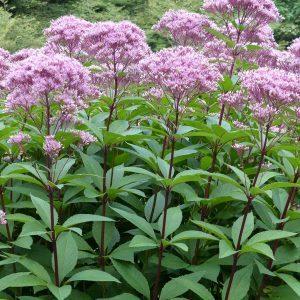 10 Best Plants for a Rain Garden