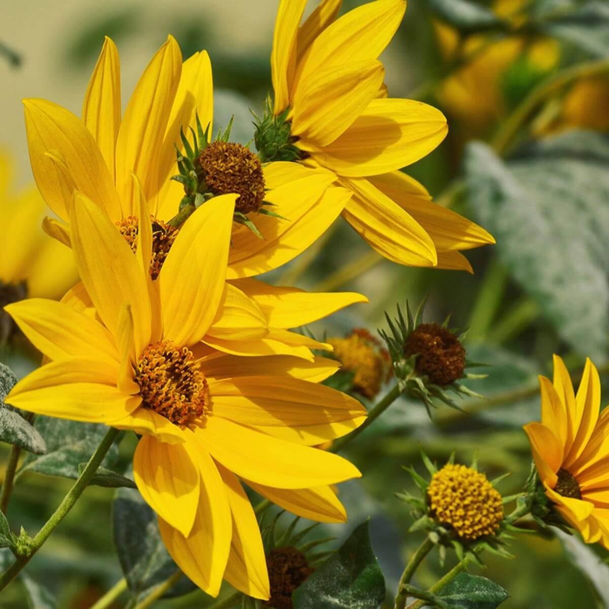 Maximilian Sunflower wildflower