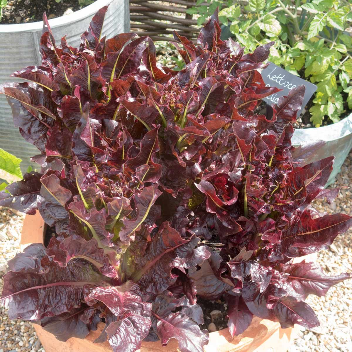 purple lettuce leaf