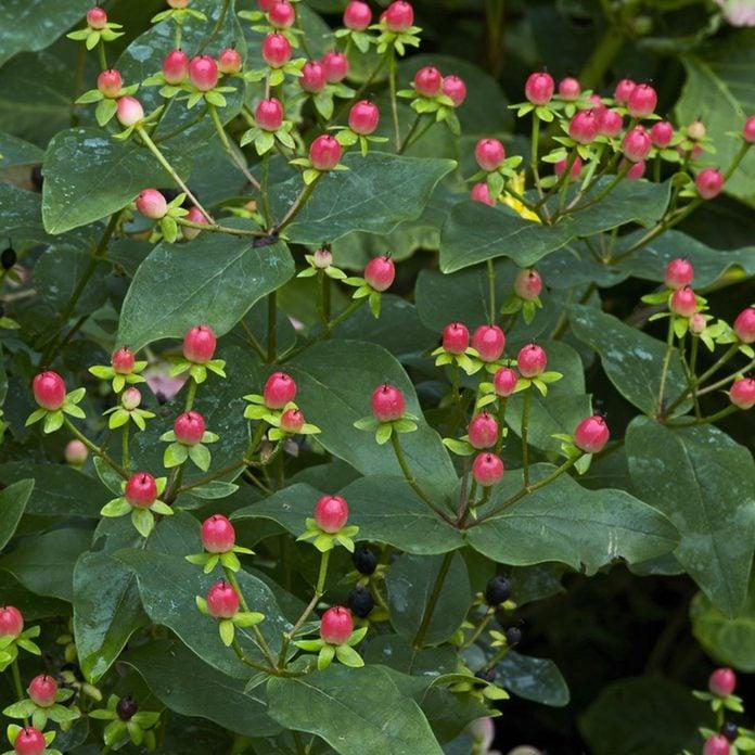 St. John's Wort Seedpods flowering shrubs