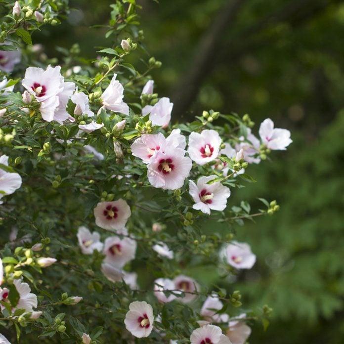 Rose of Sharon flowering shrub
