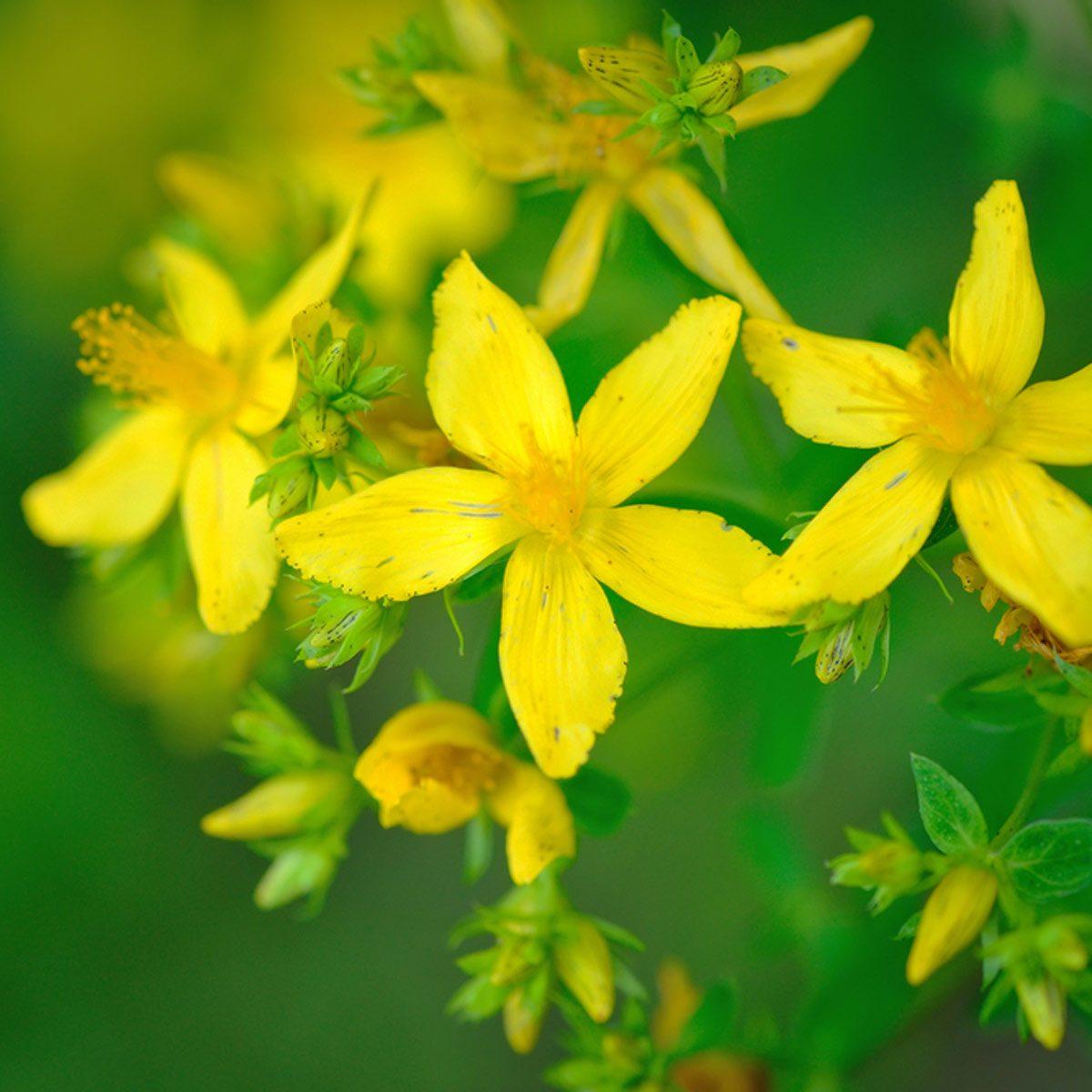 St. John's Wort Flowers flowering shrub