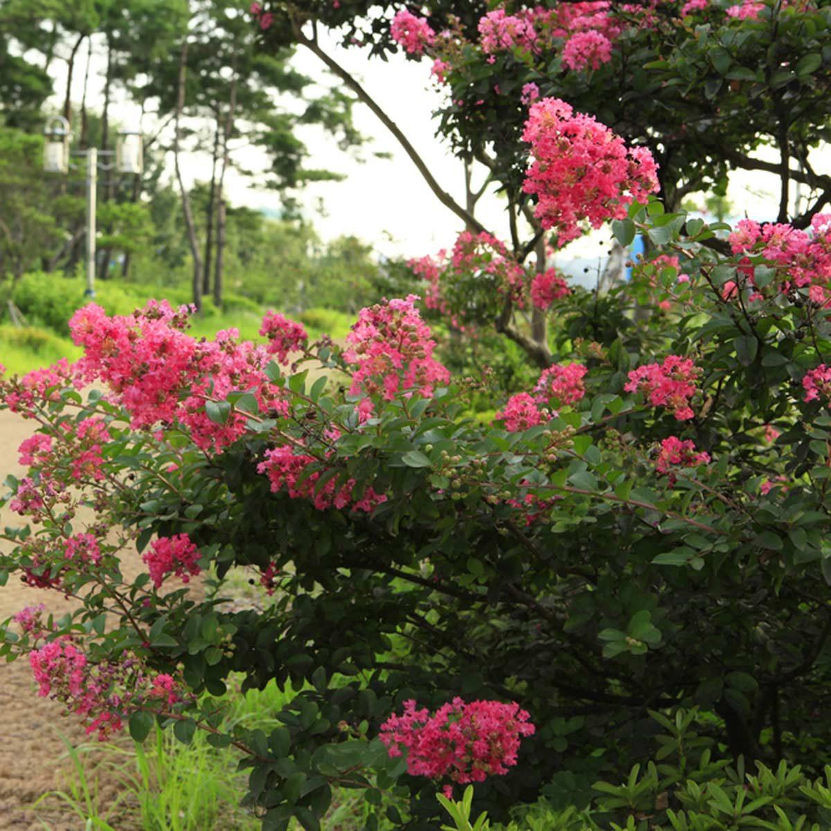 Crape Myrtle flowering shrub