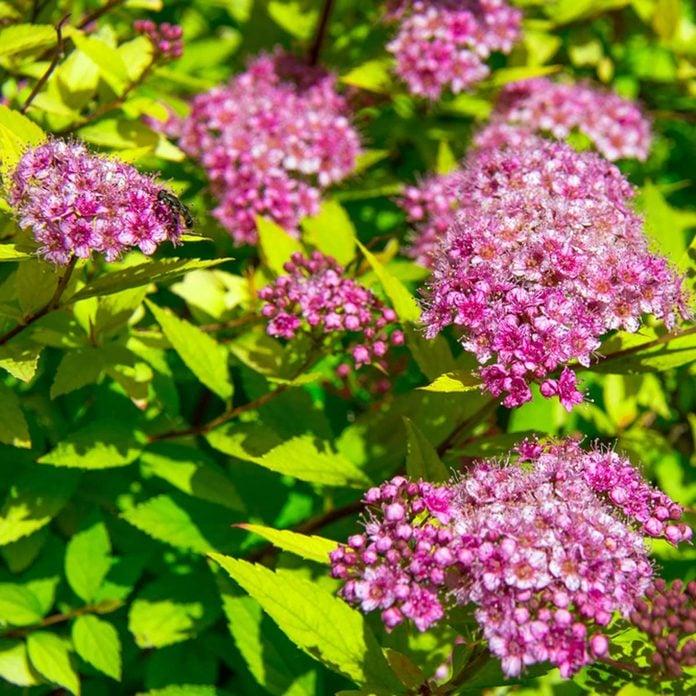 Japanese spirea flowering shrub