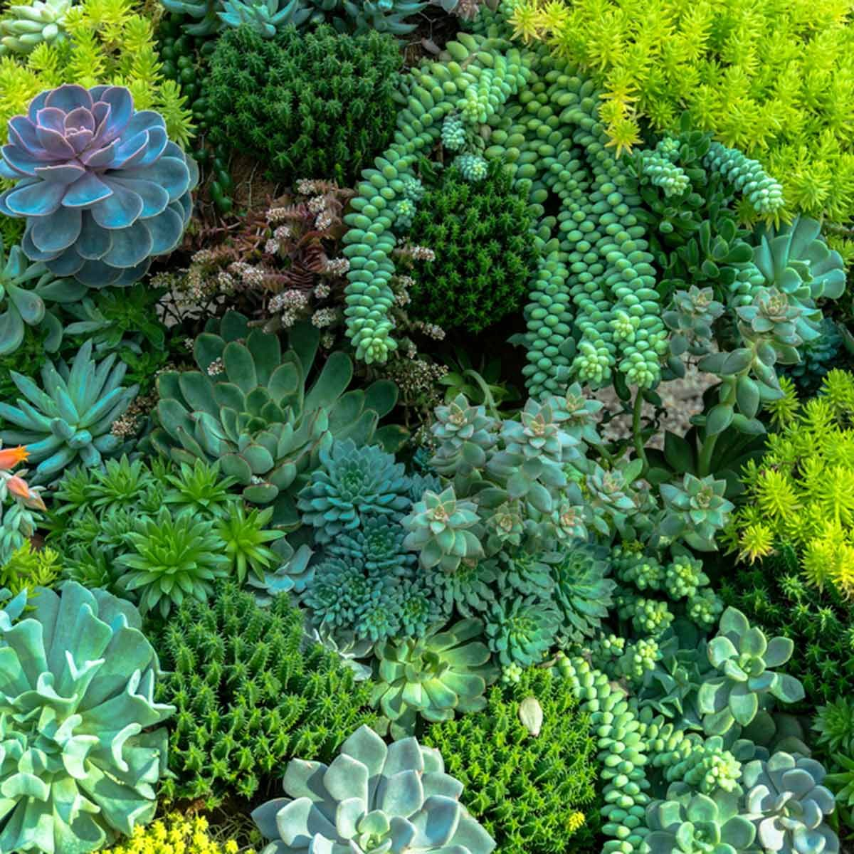 14 Tips For Planting Succulents Outdoors The Family Handyman