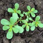 What Is Purslane Weed and How Do I Get Rid of It?