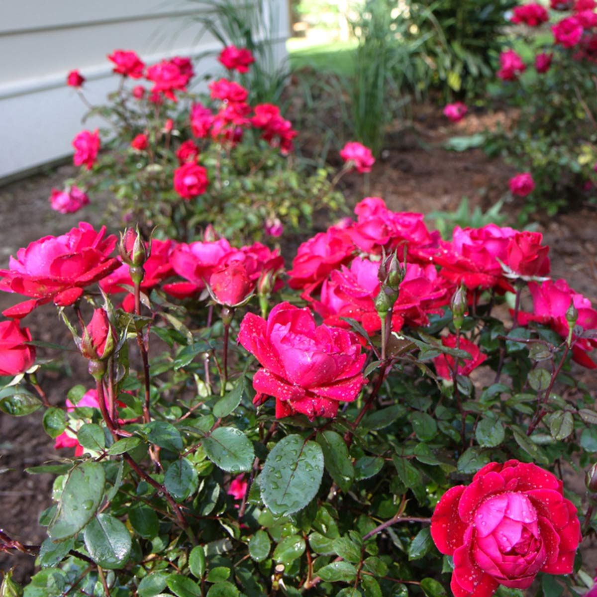 Knock Out Shrub Rose flowering shrub
