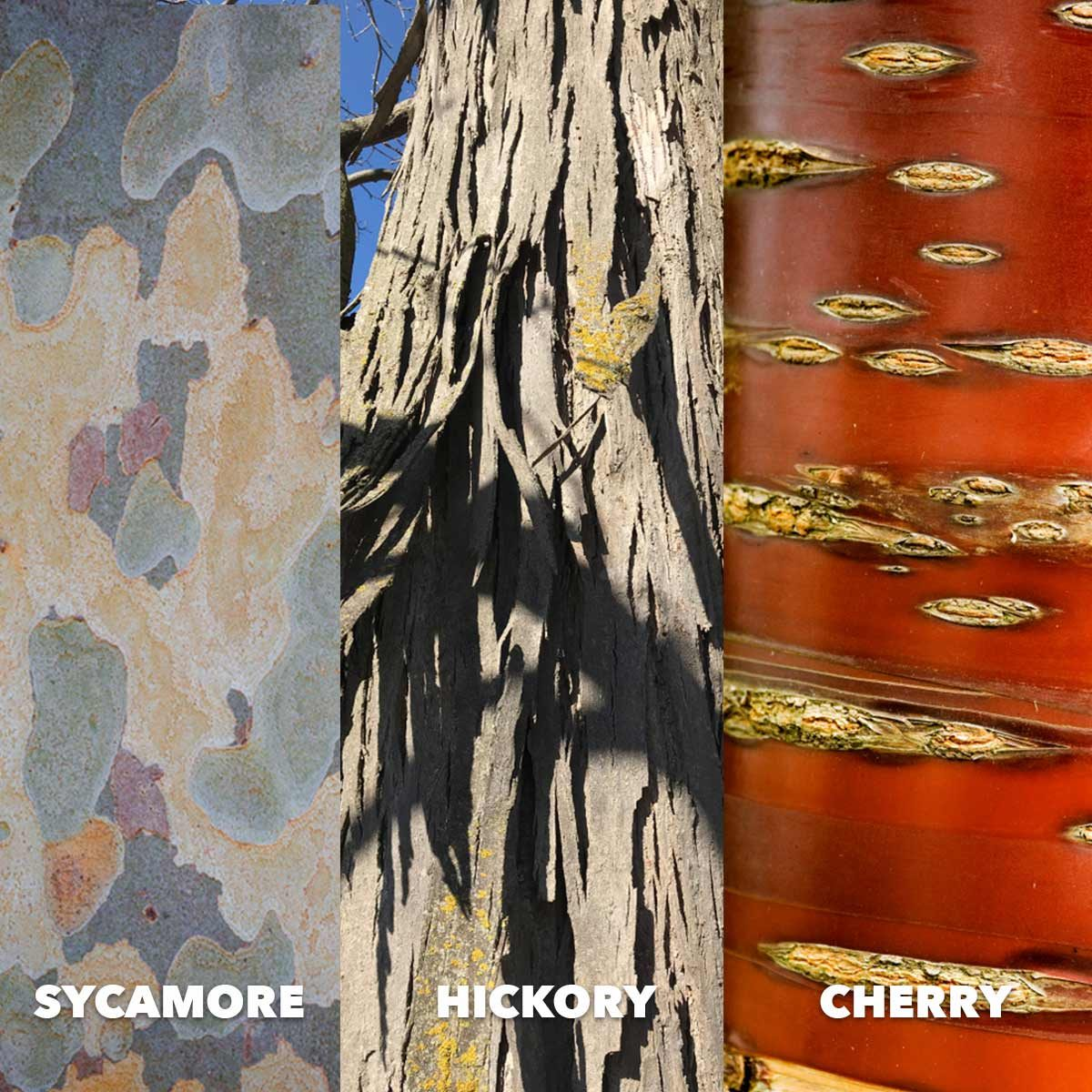 Sycamore hickory cherry bark comparison