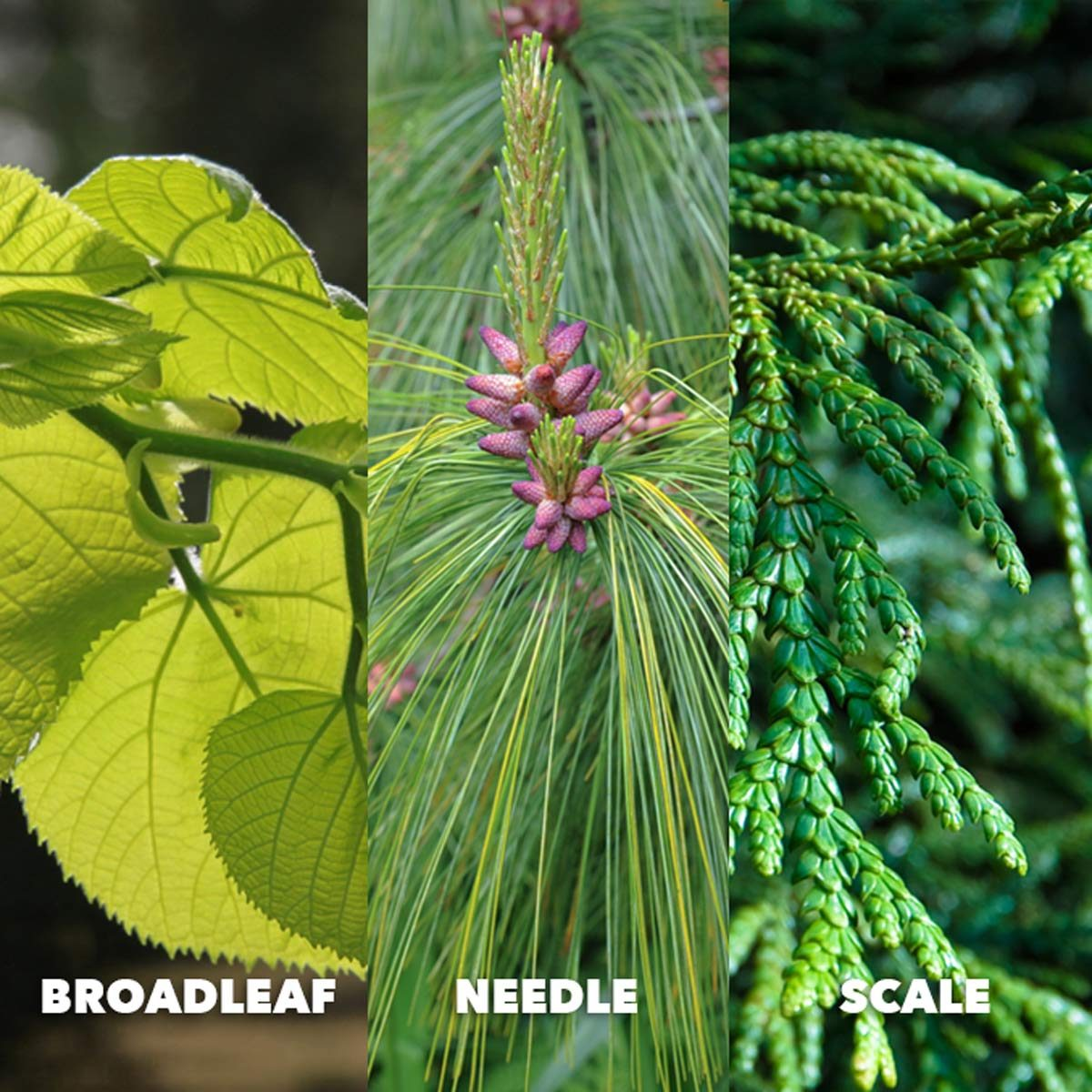 broadleaf needle scale leaf identification