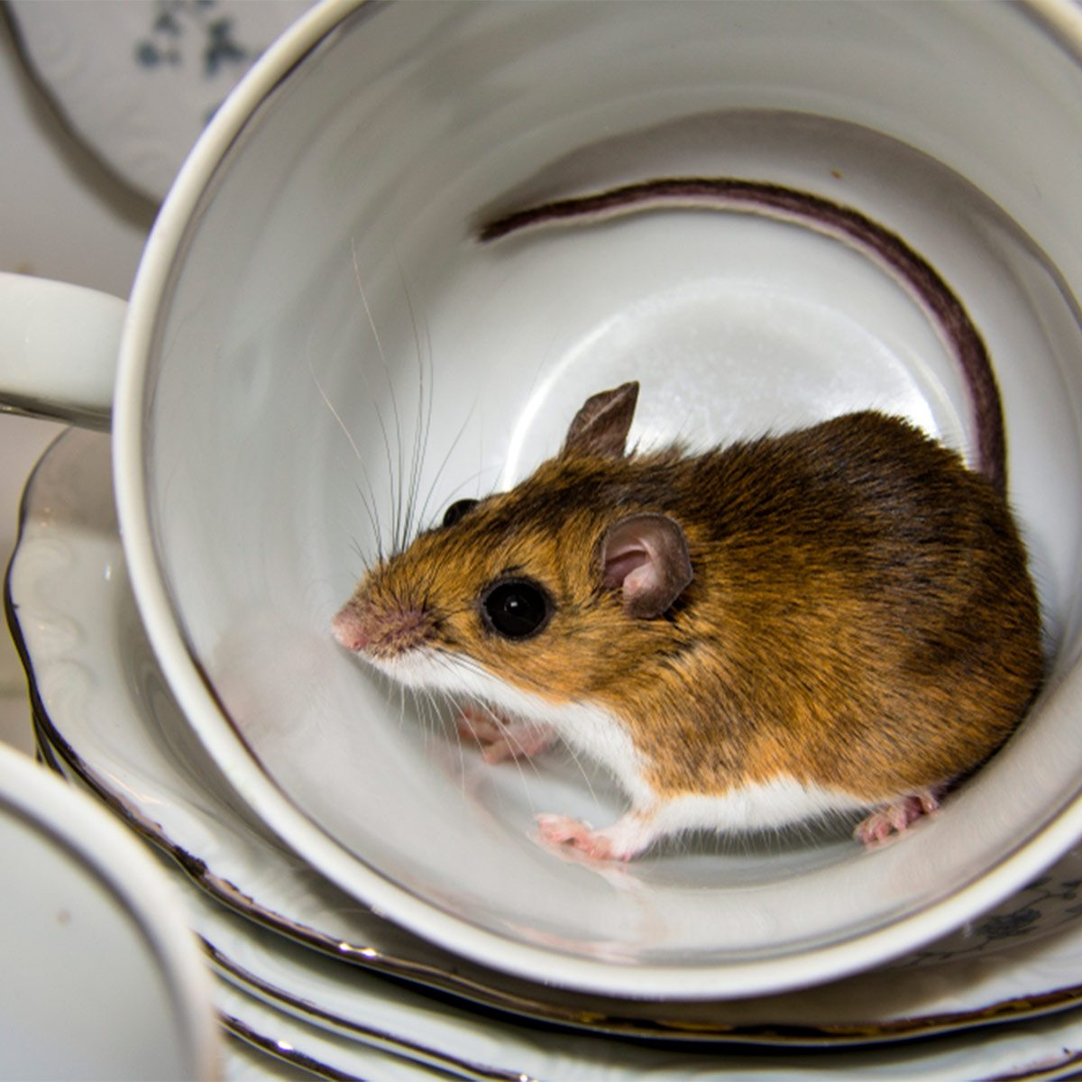 Here's Why Having a Mouse Problem Is Worse Than You Thought | The Family  Handyman
