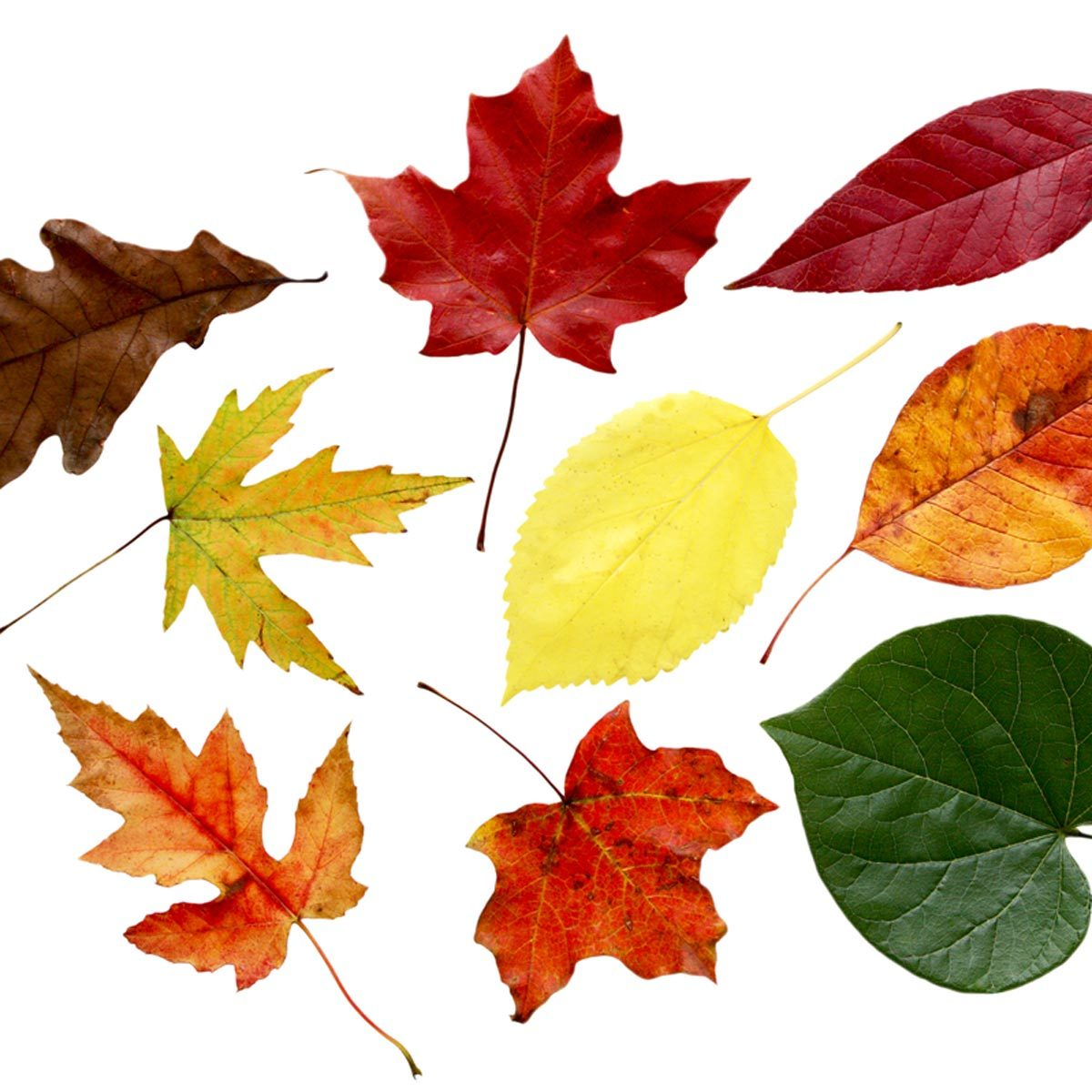 use leaves to identify tree species leaf identification