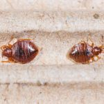 Follow These Steps to Avoid a Bed Bug Infestation
