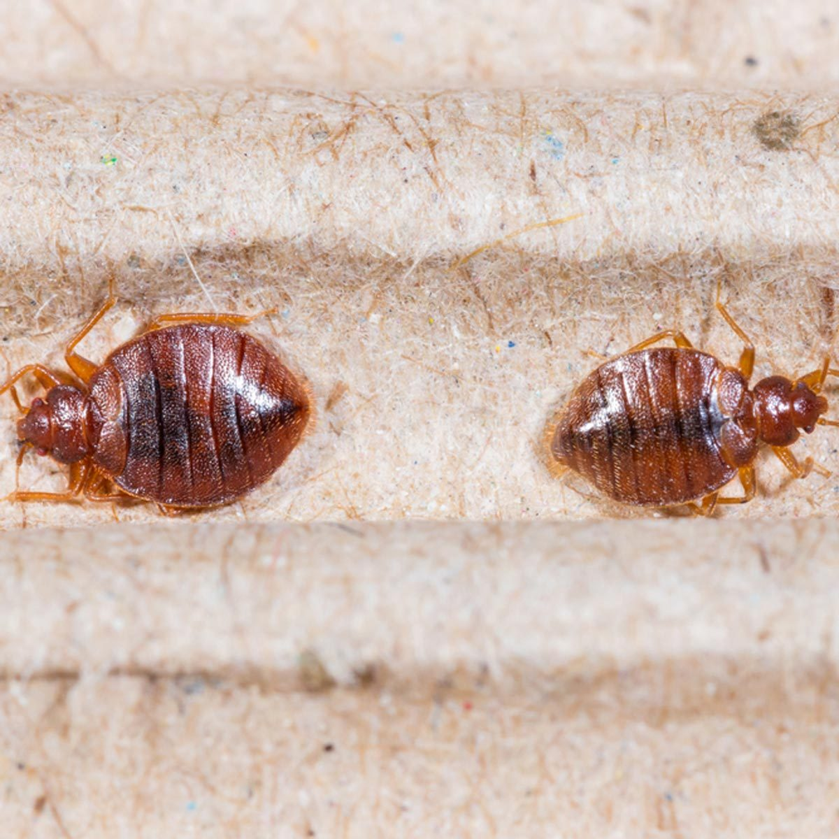 follow these steps to avoid a bed bug infestation the family handyman