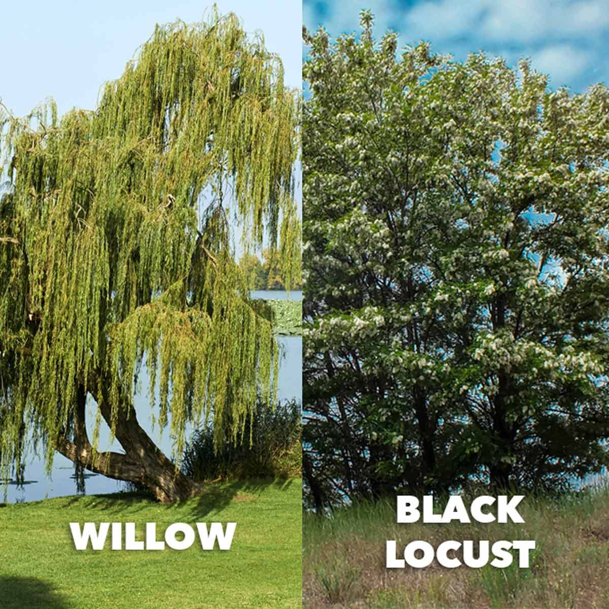 willow vs black locust comparison