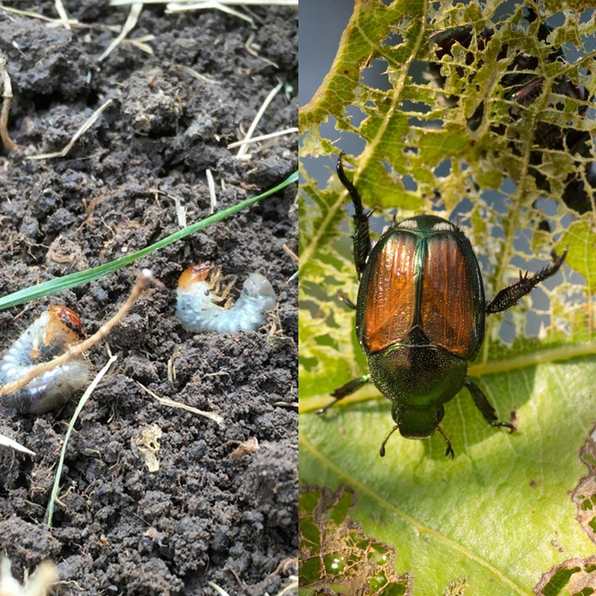 10 Worst Garden Insect Pests and How to Get Rid of Bugs on