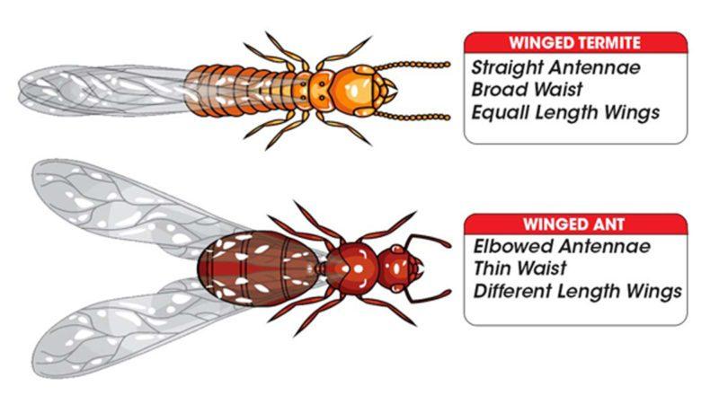 Termite Ant