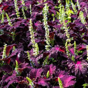 Crazy About Coleus