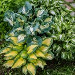 11 Most Common Mistakes People Make with Hostas