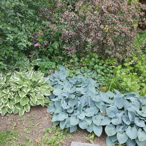 Hurray for Hostas!