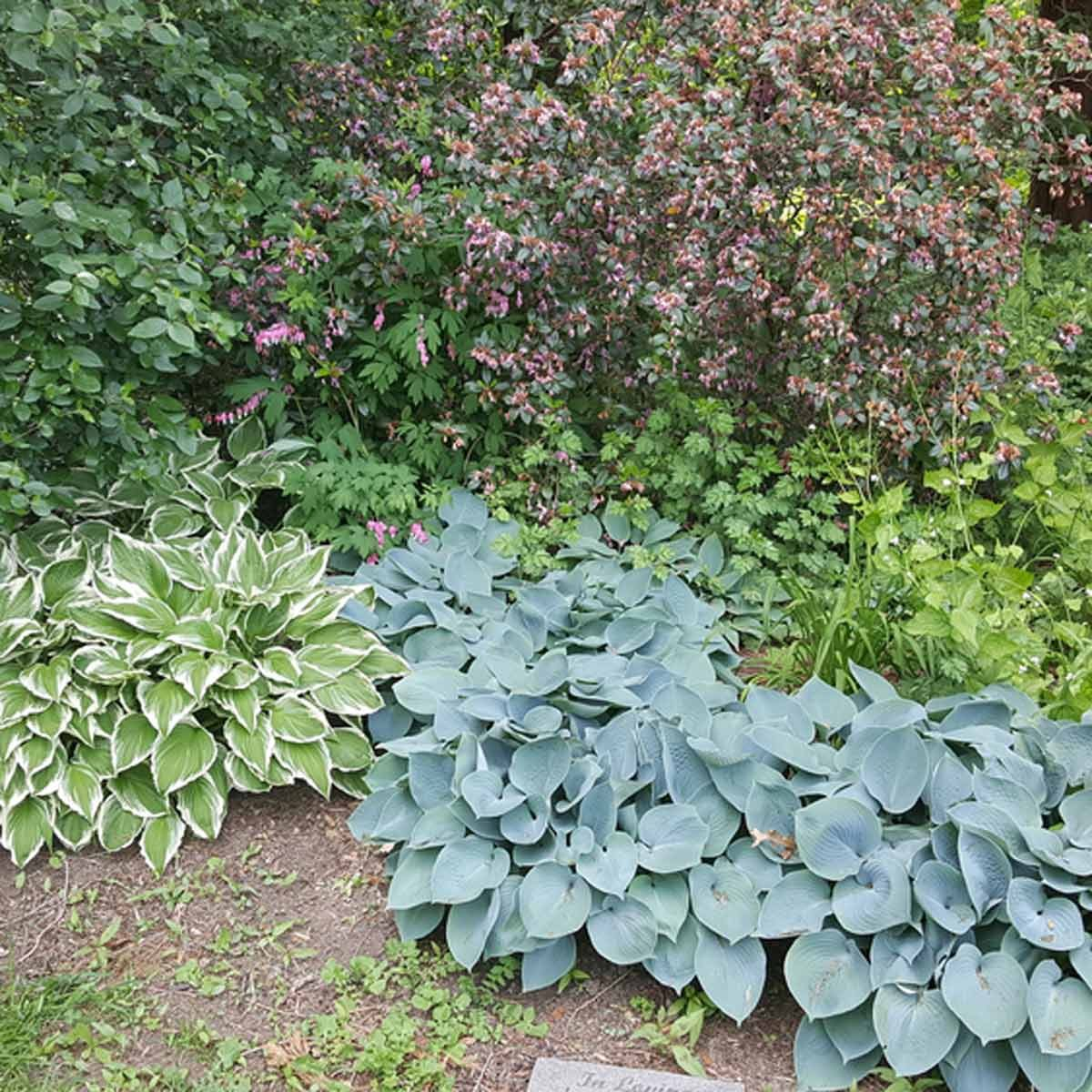 Hurray For Hostas Landscaping With Hostas The Family Handyman