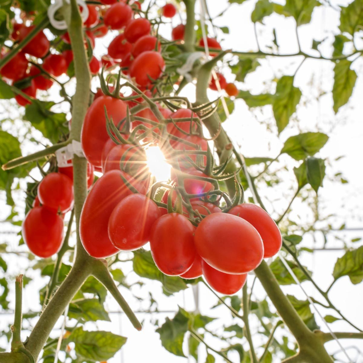 The Best Advice for Growing Tomatoes