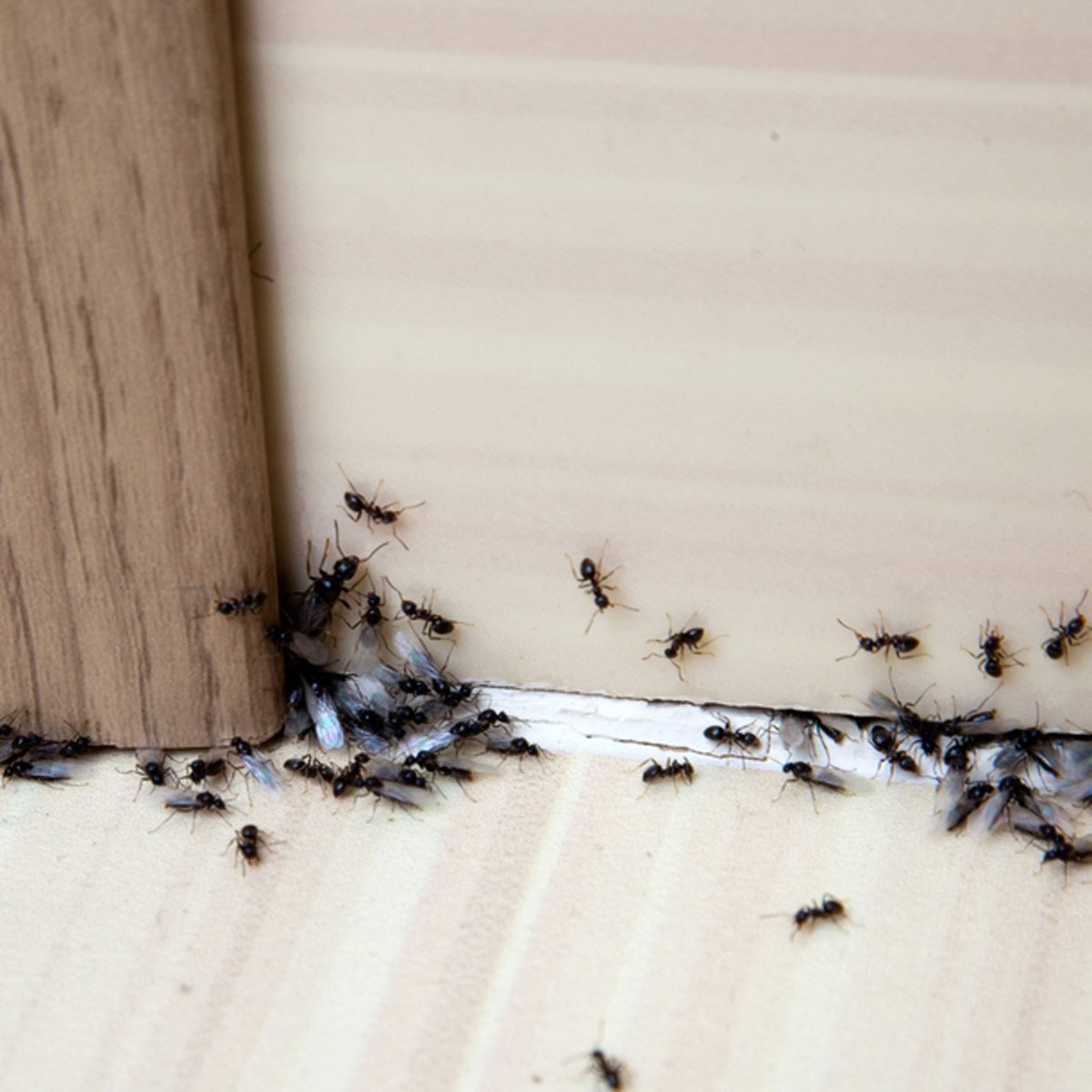 How To Quickly Get Rid Of Ants The Family Handyman