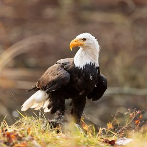 Why the Bald Eagle Wasn't Supposed to Be the National Bird