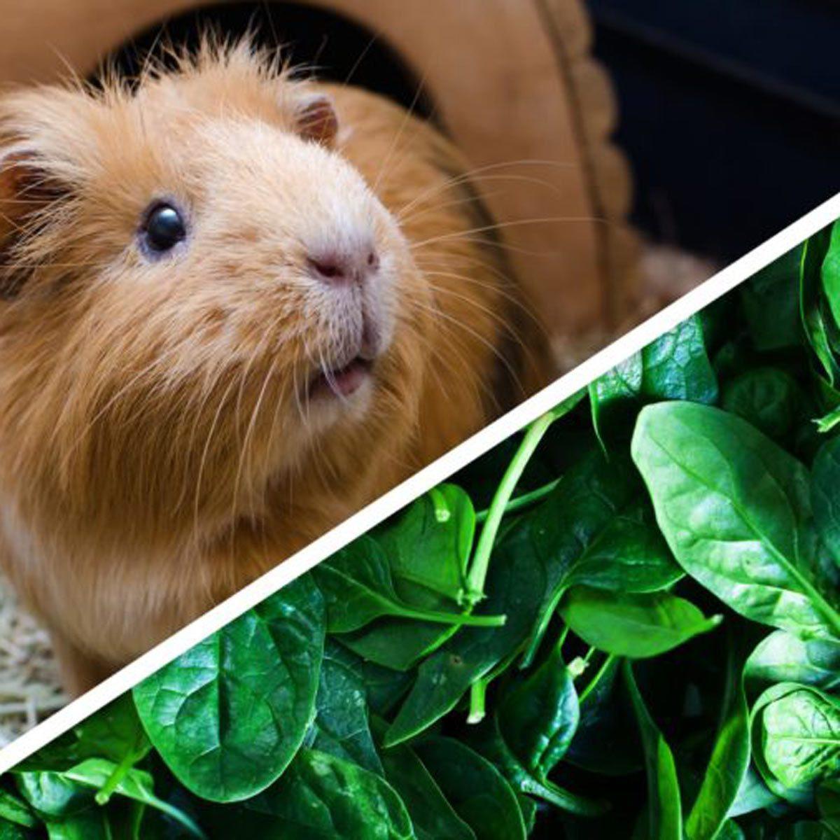 spinach guinea pig