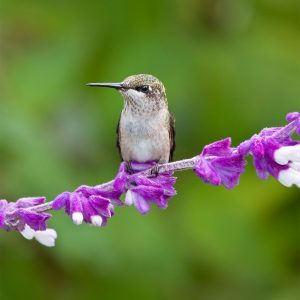 Hummingbirds Love This Plant