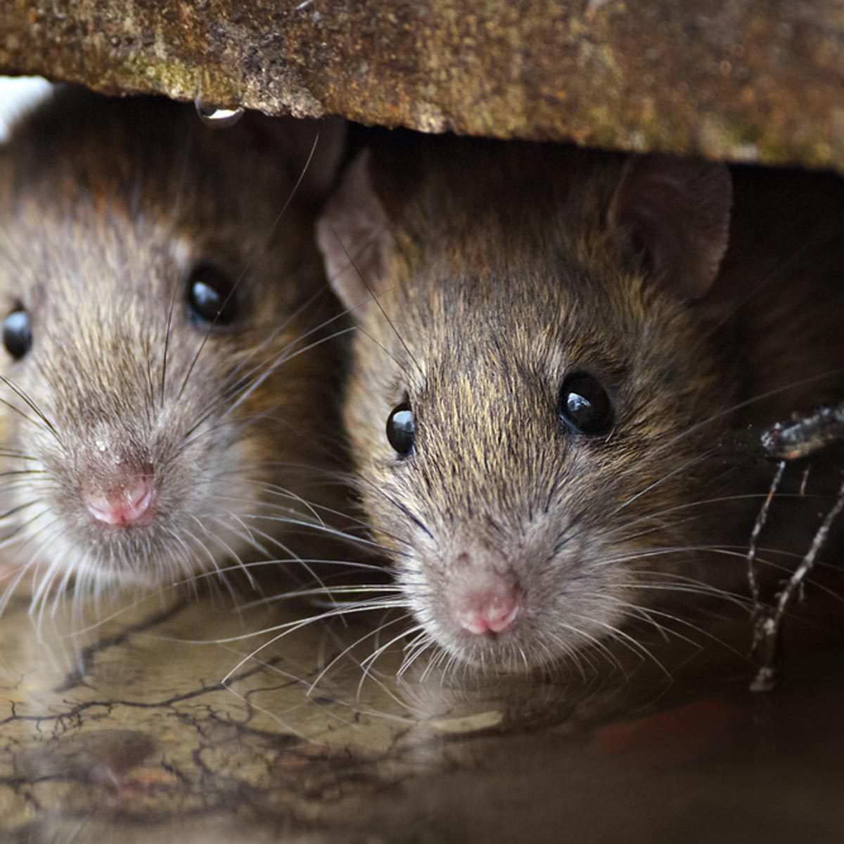 12 Rat Myths You Need To Stop Believing Family Handyman