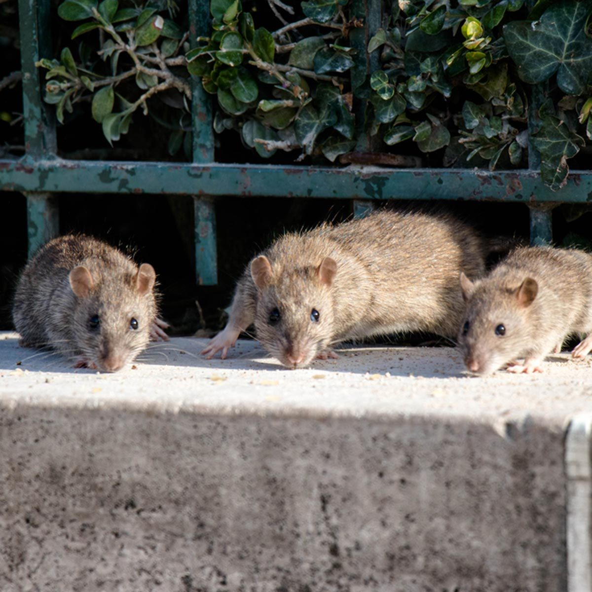 12 Rat Myths You Need to Stop Believing | Family Handyman
