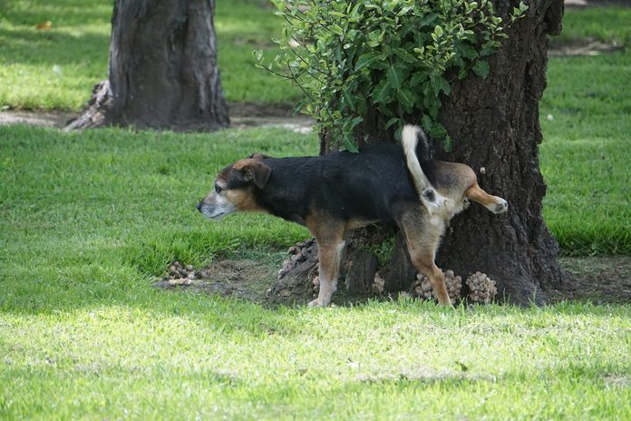 why dogs kick up the lawn