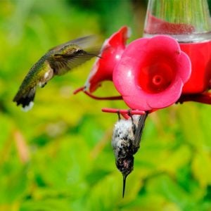 Why do Hummingbirds Sometimes Hang Upside Down?