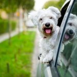 Why Your Dog Always Sticks Its Head Out of the Car Window
