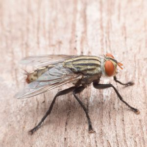 How to Get Rid of Cluster Flies