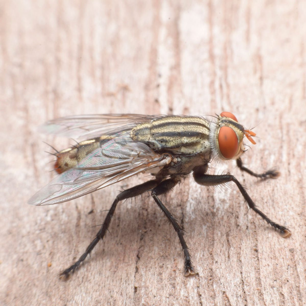 How To Get Rid Of Cluster Flies Family Handyman