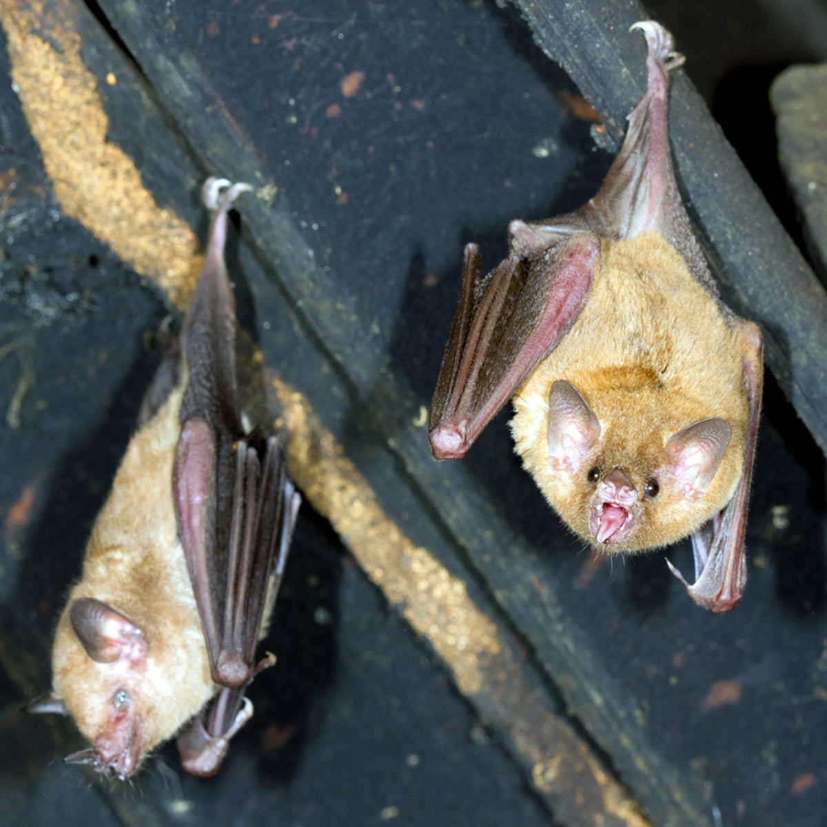 How To Get Rid Of Bats In Your Attic Family Handyman