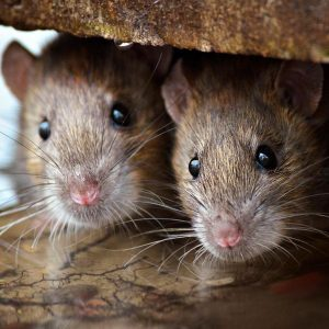 Why Do Mice Chew Through Electrical Wires?