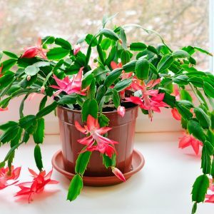 What is a Christmas Cactus?